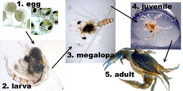 Blue crab sperm picture 301