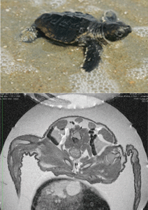 Sea turtle from the outside (top) down to the inside (bottom), from an image of the turtle inside its egg. This provides an unprecetended view into the animal's life before it hatches into the world, now possible at CMAST's MMRF.