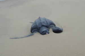 Stranded Leatherback Sea Turtle (Photo by Paul Doshkov, Cape Hatteras National Seashore, National Park Service)