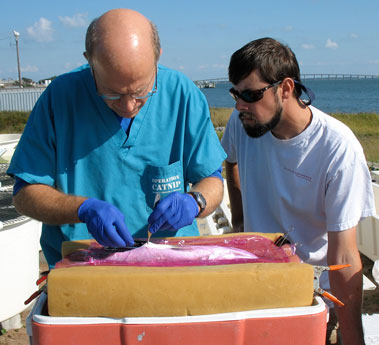 Dr. Craig Harms and Tim Ellis develop a surgical procedure for implanting spotted seatrout with sonic transmitters.