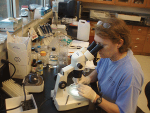 Dr. Pat McClellan-Green conducts research in her marine environmental toxicology lab.