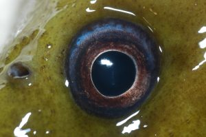 Moray eel eye