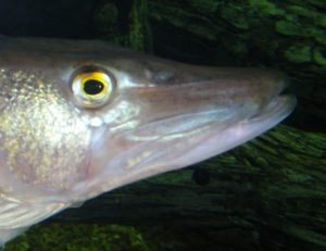 Chain pickerel face after mass removal and healing