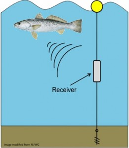 Picture 4 – Weakfish tagged with transponder tags are tracked by stationary receivers in the New River.